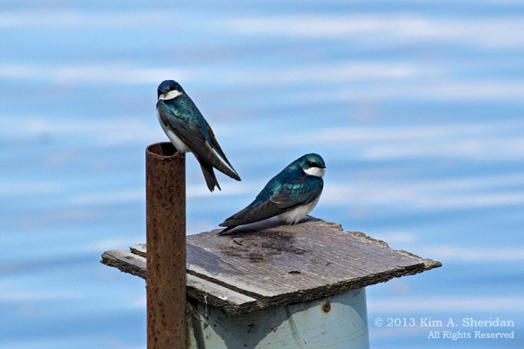 3 HNWR Tree Swallow_5543 AS
