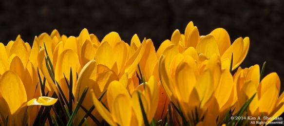 Flowers Crocus_7814acs