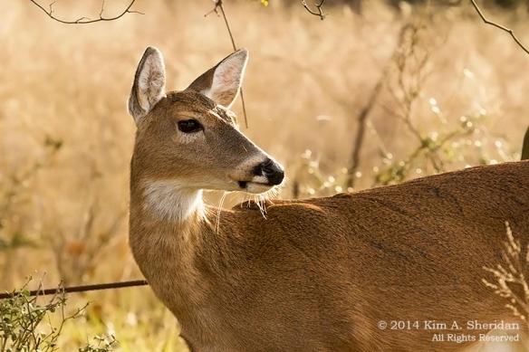 Fort Worth NCR Deer_8557 acs