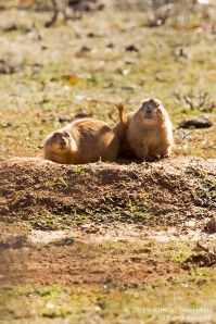 Fort Worth NCR Prairie Dog_8314a