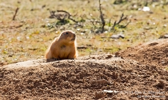 Fort Worth NCR Prairie Dog_8343acs