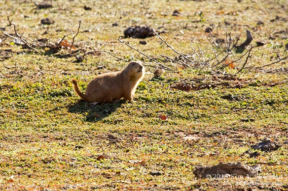 Fort Worth NCR Prairie Dog_8346a