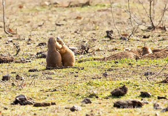 Fort Worth NCR Prairie Dog_8444acs
