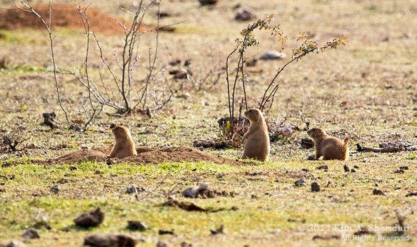 Fort Worth NCR Prairie Dog_8481acs