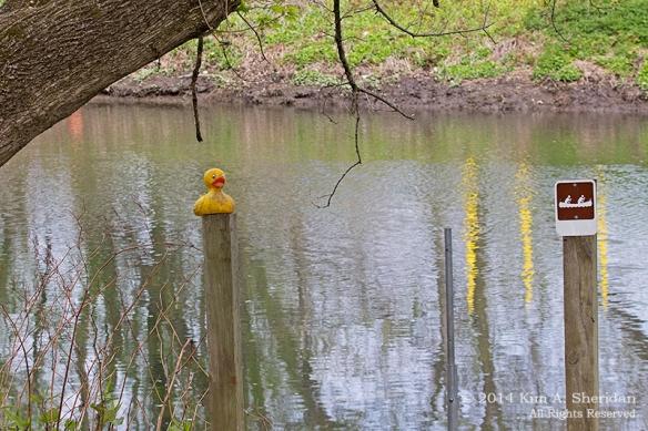HNWR Ducky_9986 acs