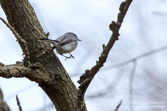 HNWR Gnatcatcher_0122 a