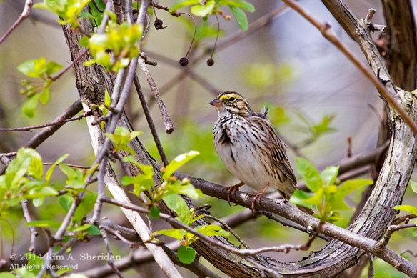 HNWR Sparrow Savannah_0343 a