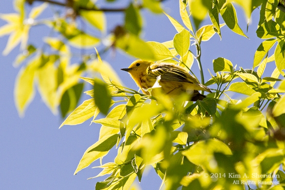 HNWR Warbler Yellow_5327 a