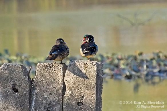 HNWR Wood Duck_1281 acs