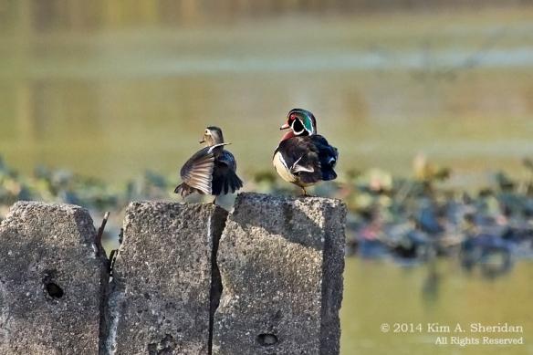 HNWR Wood Duck_1320 acs