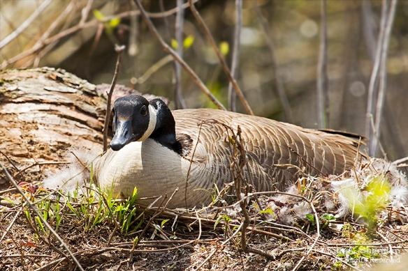 HNWR Goose Nest_0455 acs