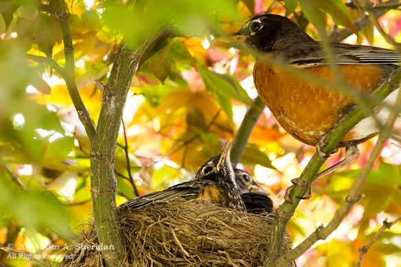 Robin Nest_0088 a