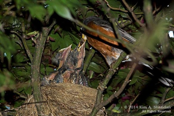 Robin Nest_9888 acs