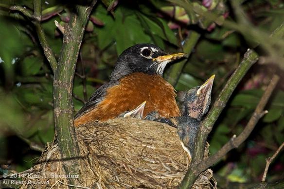 Robin Nest_9915 acs