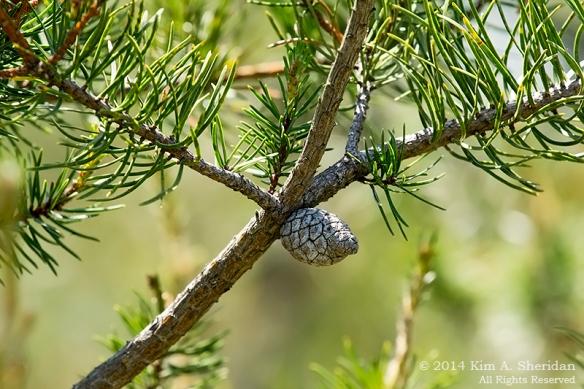 MI Grayling State Forest Jack Pine_9039acs