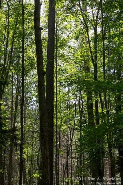 MI Hartwick Pines 1 Old Growth Forest_9082a