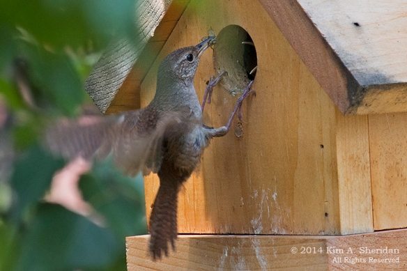 140727_Wren Nestlings_4372acs
