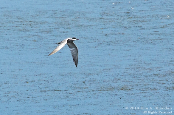 140917_Cape May Point Whiskered Tern_1504a