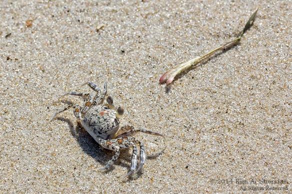 140918_OC Corsons Inlet Crabs_1638 a