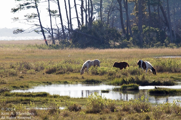 141017_Chincoteague NWR_9571 a