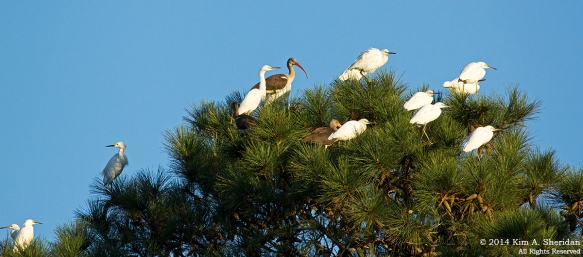 141017_Chincoteague NWR_9868acs