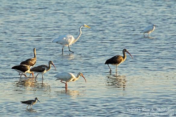 141018_Chincoteague NWR AM Swan Cove_0168a