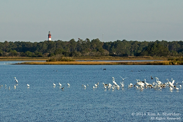 141018_Chincoteague NWR AM Swan Cove_0327acs