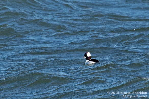 150110_NJ Barnegat Light Bufflehead_4186a