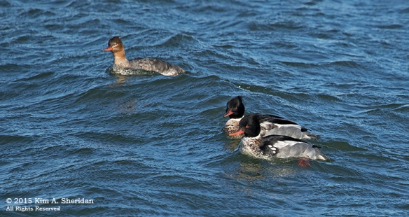 150110_NJ Barnegat Light Merganser_4578acs