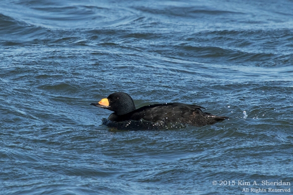 150110_NJ Barnegat Light Scoter_4124acs