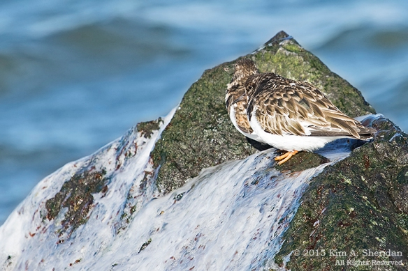 150110_NJ Barnegat Light Turnstone_4337acs