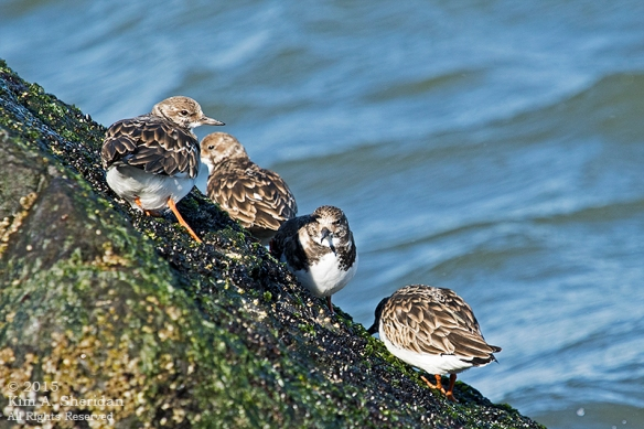 150110_NJ Barnegat Light Turnstone_4416acs