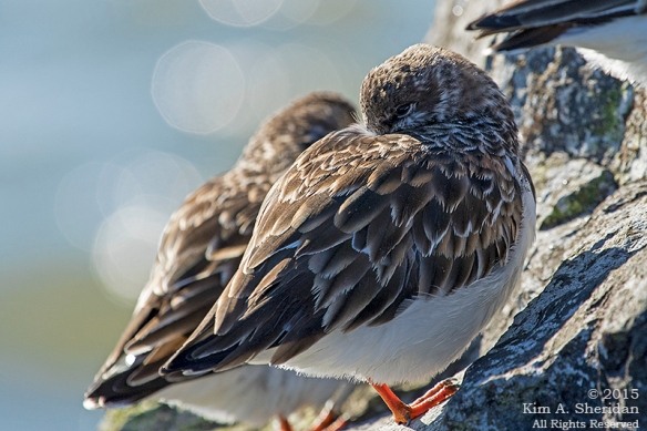 150110_NJ Barnegat Light Turnstone_4465acs