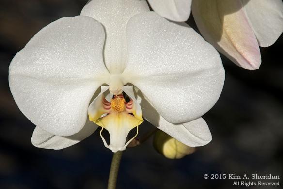 150211_Longwood Orchids_5835 a