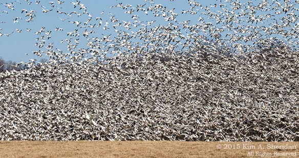 Middle Creek Snow Geese_2763