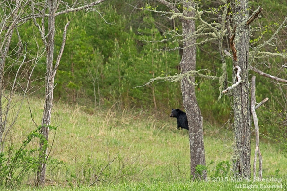 150413_TN GSMNP Cades Cove Bear_4108acs