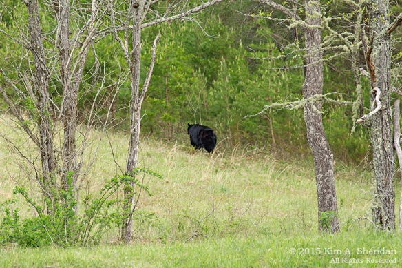 150413_TN GSMNP Cades Cove Bear_4118acs