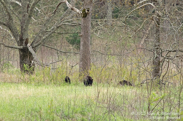 150413_TN GSMNP Cades Cove Bear_4132acs