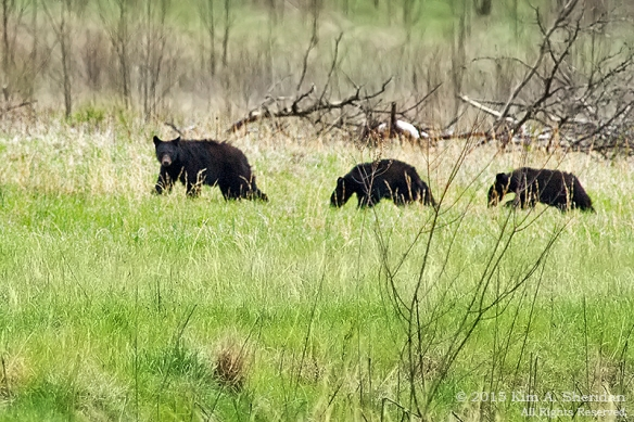 150413_TN GSMNP Cades Cove Bears_4163 acs2