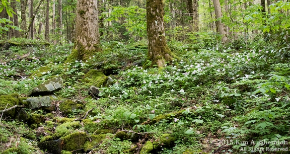 Old trees float on a sea of wildflowers, Cove Hardwood Nature Trail, Great Smoky Mountains National Park.