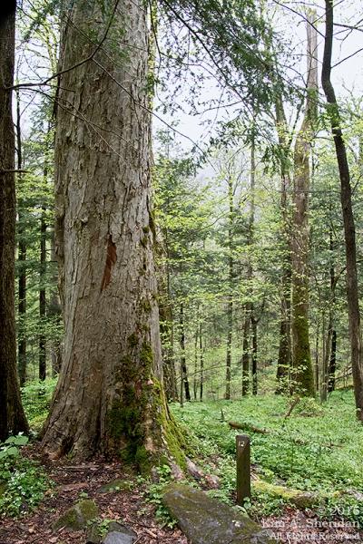 Yellow buckeye tree, Cove Hardwood Nature Trail.