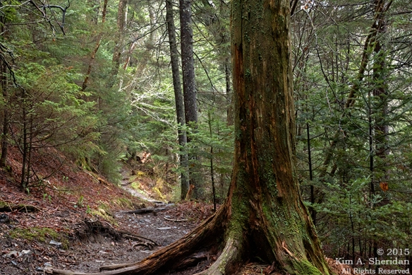 Spruce-fir forest along the Appalachian Trail.
