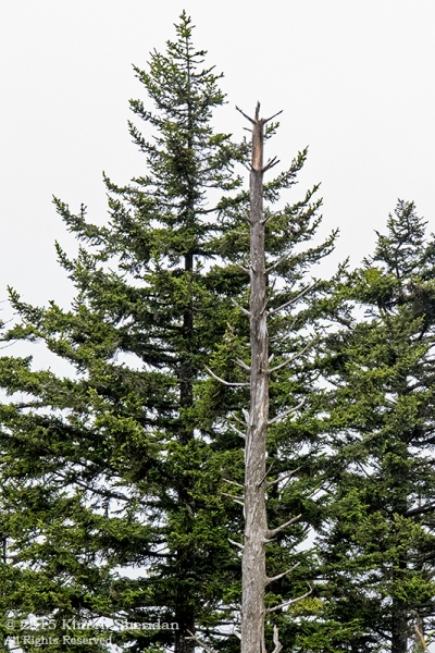 Living and skeletal Fraser fir on Clingman's Dome.