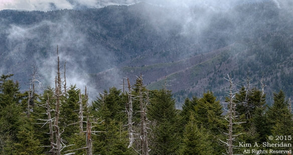 Fraser firs on Clingman's Dome.