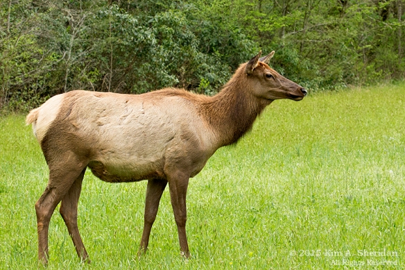 150417_NC GSMNP Oconaluftee Elk_4354acs