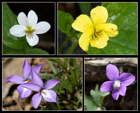 Not all violets are purple. Clockwise, from top left: Canadian Violet, Early Yellow Violet, Woolly Blue Violet, Bird's Foot Violet.