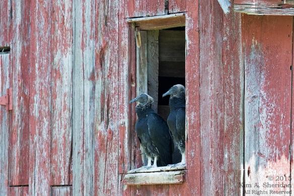 Black Vultures, Bombay Hook NWR