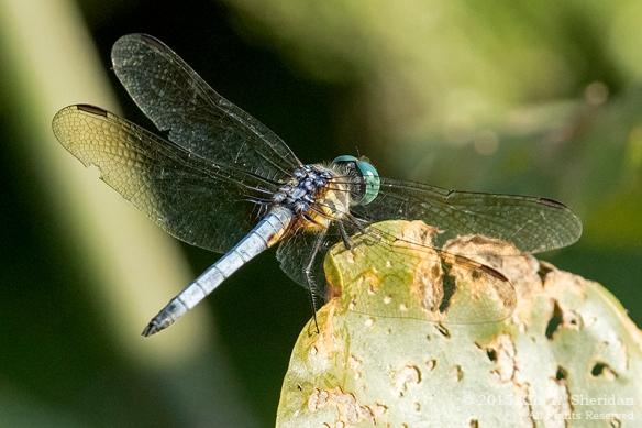 150804_PA HNWR Dragonfly_3428acs
