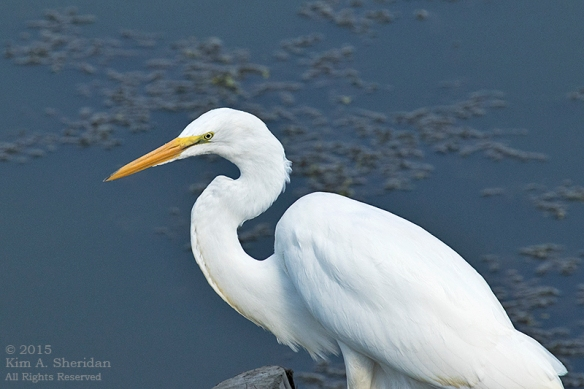 150804_PA HNWR Great Egret_3208 acs
