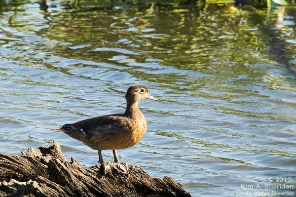 Wood Duck, John Heinz NWR